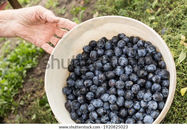 harvest-small-ripe-dark-plums-600w-19208