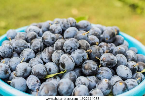 harvest-small-ripe-dark-plums-600w-19221