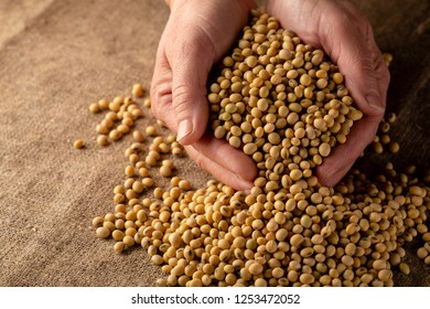 Harvest of soybeans close-up, healthy food