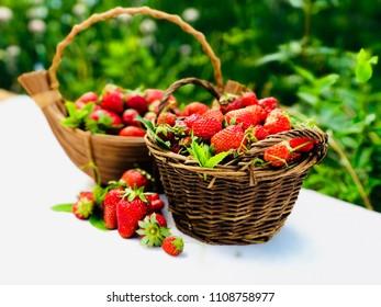 Harvest of strawberries