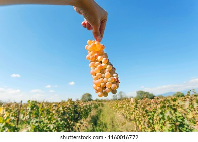 Harvest time, fresh bunch of grapes in human hand. Ripe juicy grapes on a background of the vineyard. Natural agriculture landscape.