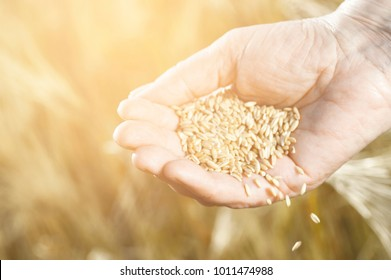 Harvest time and golden hour. Wheat grains falling from old woman hand in the wheat field, blur focus. Photo with warm instagram filter
