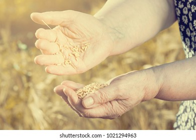 Harvest time and golden hour. Wheat grains falling from old woman hand in the wheat field, blur focus. Instagram