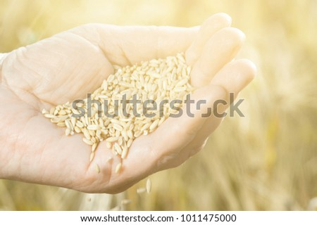 Harvest Time Golden Hour Wheat Grains Stock Photo Edit Now