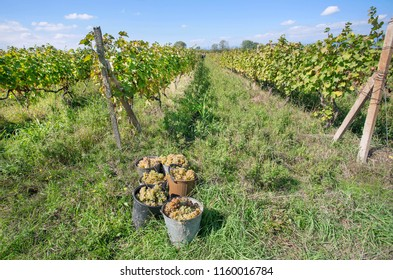 Harvest time, green grape inside buckets of the sunny valley farm. Farmers area with vineyards under blue sky..