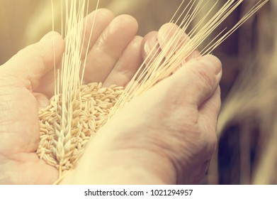 Harvest time. Hands of old woman are holding handful of wheat grains, close-up.  instagram