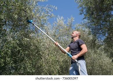 Harvest time in olive garden