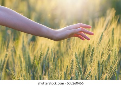 Harvest time yellow rice field in Thailand, Woman hand touching barley at sunset time
