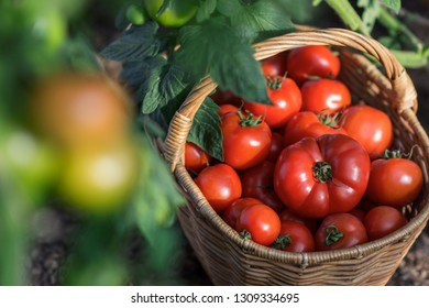 Harvest of tomatoes in the basket outdoors, farming, gardening and  agriculture  concept