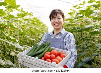 Harvest of vegetables in greenhouses