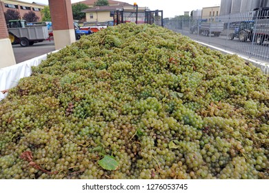 harvest - the vinification of grapes with machinery to crush grapes and get the juice - italy , Oltrepo Pavese