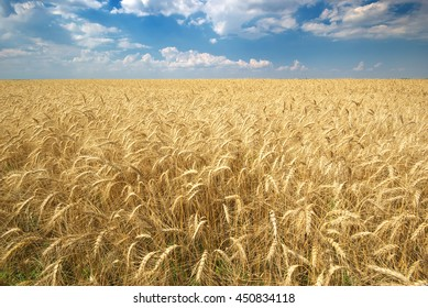 Harvest of wheat. Texture of wheat