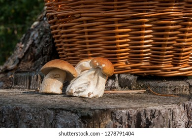 Harvested at autumn amazing edible mushrooms boletus edulis known as porcini mushrooms. Composition of group edible mushroom Boletus edulis on natural wooden background.
