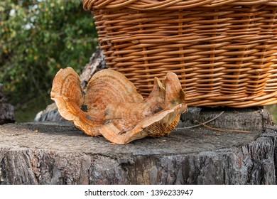 Harvested at autumn amazing edible mushrooms Saffron Milk Cap known as Orange Milk Cap. Composition of group edible mushroom Orange Milk Cap on natural wooden background on sunny autumn day in wood.
