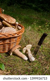 Harvested at autumn amazing edible mushrooms boletus edulis (king bolete) known as porcini mushrooms. Composition of several edible mushroom Boletus edulis, knife and wicker basket on back