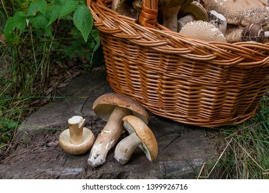 Harvested at autumn amazing edible mushrooms boletus edulis (king bolete) known as porcini mushrooms. Composition of several edible mushroom Boletus edulis and wicker basket on wooden background
