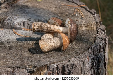 Harvested at autumn amazing several edible mushrooms brown cap boletus known as boletus badius. Composition of group edible mushrooms brown cap boletus on natural wooden background on sunny autumn day