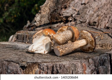 Harvested at autumn amazing several edible mushrooms brown cap boletus known as boletus badius and boletus edulis known as porcini mushrooms. Composition of group edible mushrooms brown cap boletus
