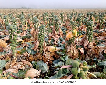 Harvested Brussels sprouts field.