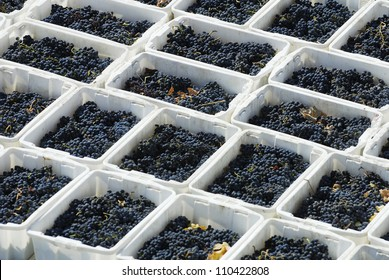 Harvested Cabernet Sauvignon grape's of Concha y Toro vineyard, Santiago,Puente Alto/Maipo valley,Chile,South America