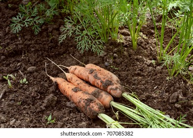 Harvested carrots, covered in dirt, lie on soil next to line of carrot plants
