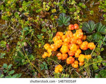Harvested cloudberries on the ground surrounded by green plants and moss.