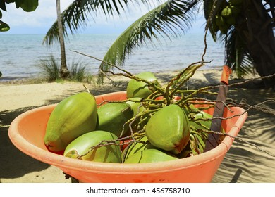 Harvested coconuts in a wheelbarrow