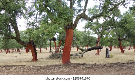 Harvested cork trees (Quercus suber L.) in the region of Extremadura, Spain. Photo taken at 18th of October 2018.