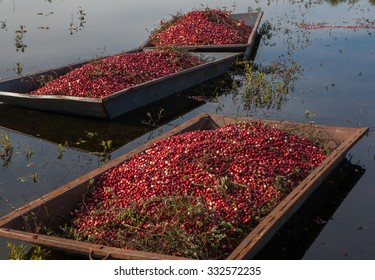 Harvested cranberries floating in the field  in Muskoka Region of Ontario, Canada