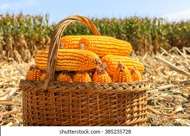 Harvested dried GMO maize in a wicker basket with field in background