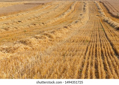 Harvested field with shafts of straw prepared for making bales
