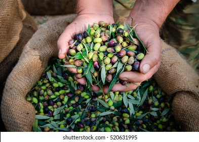 Harvested fresh olives in the hands of farmer, Crete, Greece.