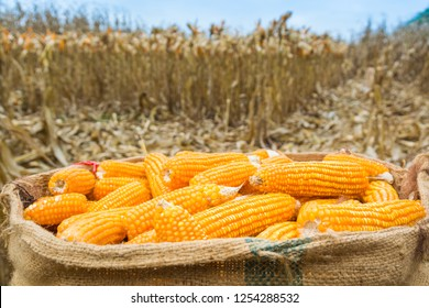 Harvested Fresh Raw Corn cobs in burlap sack left in the field with Dry Corn Plant as Agriculture Farming concept Background.