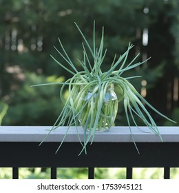 Harvested garlic scapes are arranged in a honey pot.