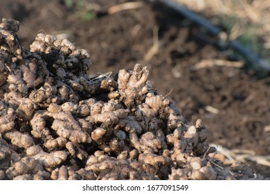 Harvested ginger (Zingiber officinale) roots in field and space for text.