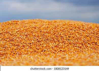 Harvested Grain Corn in a Grain Trailer During the Autumn Harvest. Close Up View of Corn Grains in Tractor Trailer After Harvest. Colorful Background of Corn Kernels Against Sky.