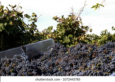 Harvested grapes being dropped inside a tractor trailer during harvest in Kakheti region, Georgia.