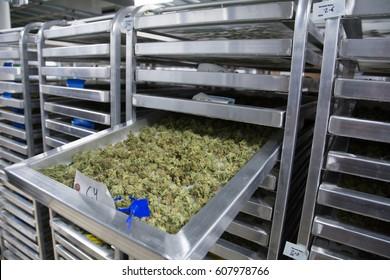 Harvested Marijuana Curating