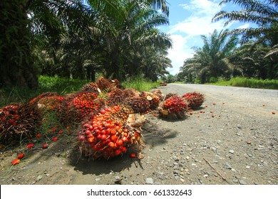 Harvested oil palm fruits in oil palm plantation