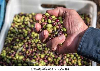 Harvested olives displayed in hand.