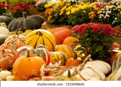 harvested pumpkins and blooming chrysanthemums in pots on a counter in a market, store or fair
