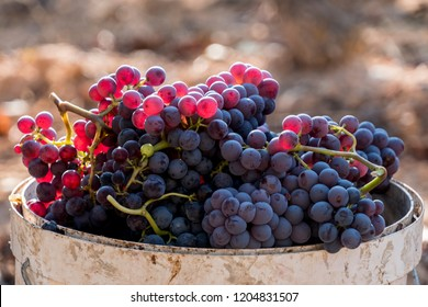 Harvested red grenache grapes during vintage season at Priorat wine making region, Tarragona, Spain