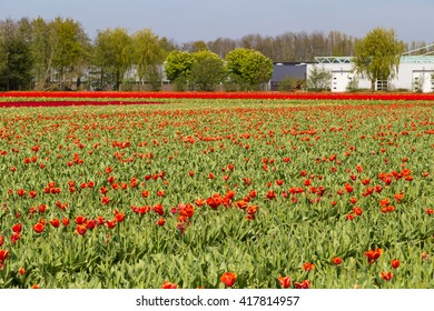 Harvested red tulips on field near village of Lisse in the Netherlands in May