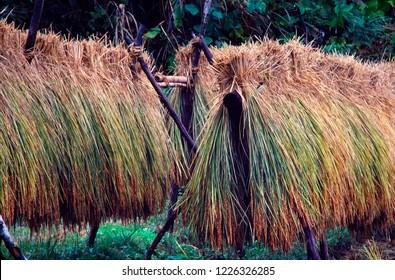 Harvested rice in Japan