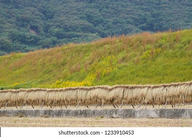 Harvested rice stalks bound and hung to dry in a rice paddy