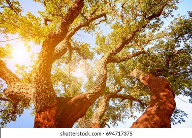 Harvested trunk of an old cork oak tree (Quercus suber) in evening sun, Alentejo Portugal Europe
