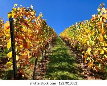 harvested vineyard on a sunny autumn day against great blue sky