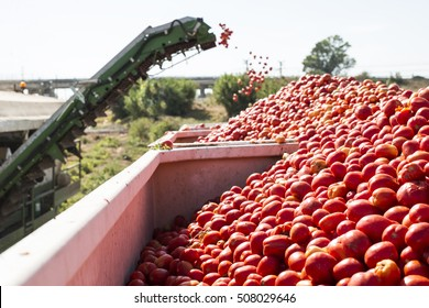 Harvester collects tomatoes in trailer. Close up pile tomatoes