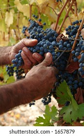 Harvester hands cutting grapes