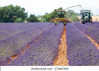Harvester on lavender field